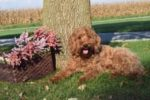 Red Medium Australian Labradoodles