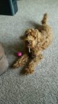 Red medium Australian Labradoodle