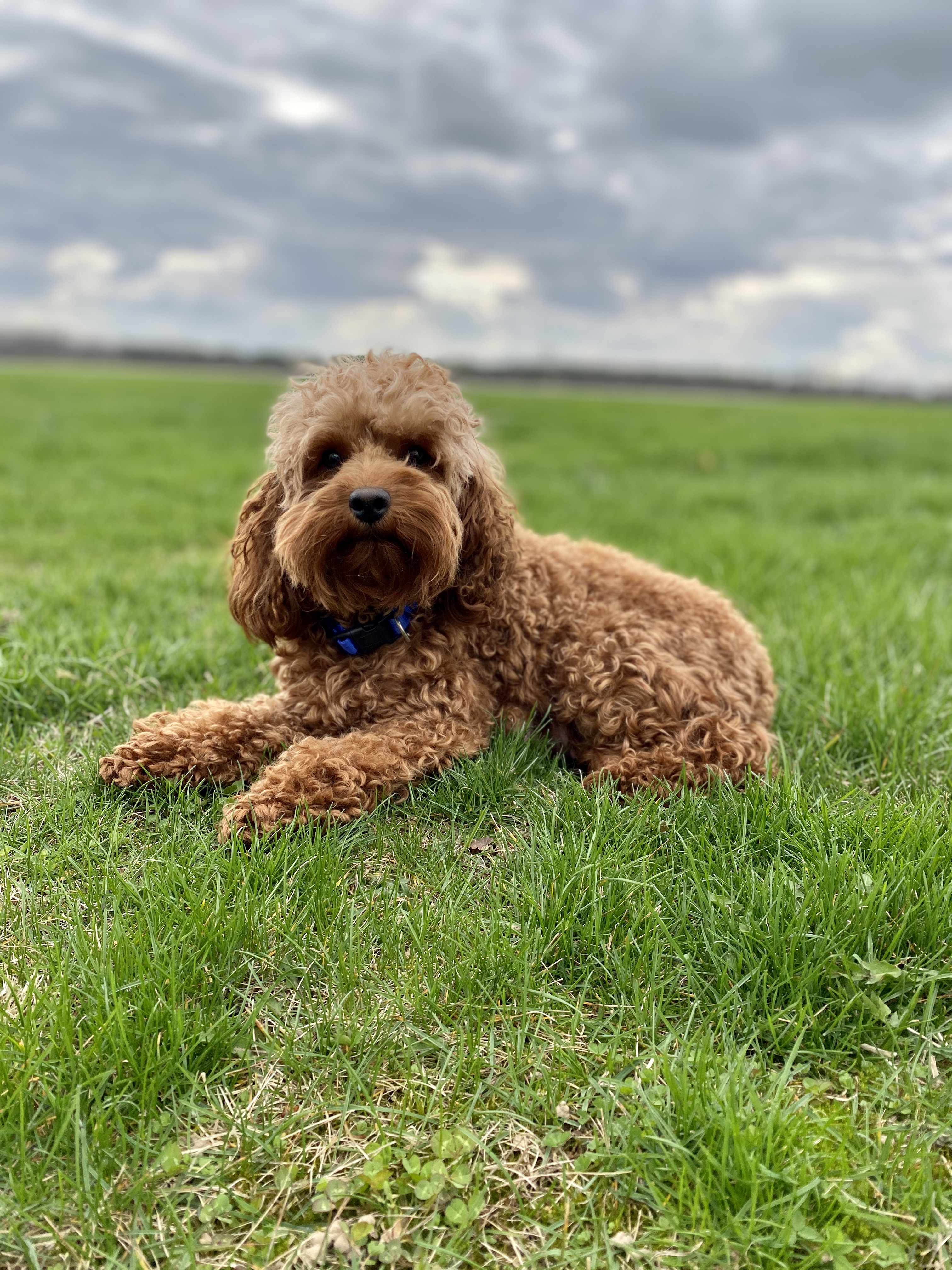 Barbecuing with your Dog | Ashford Manor Labradoodles