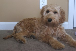 Australian Labradoodle Puppy in Indiana