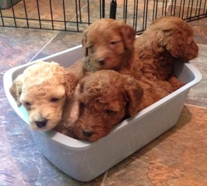 Ashford Manor Labradoodle puppies