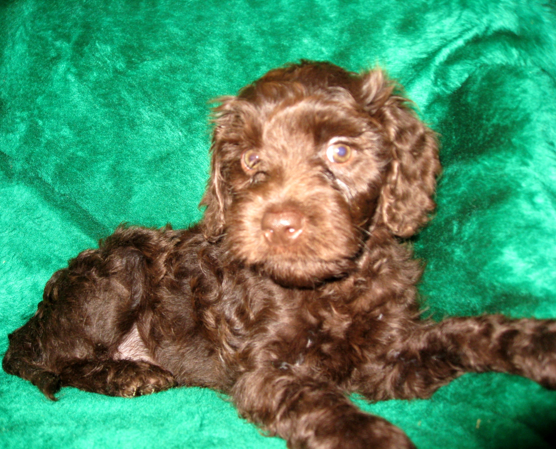 Australian Labradoodle Puppies Available Now! | Ashford ...