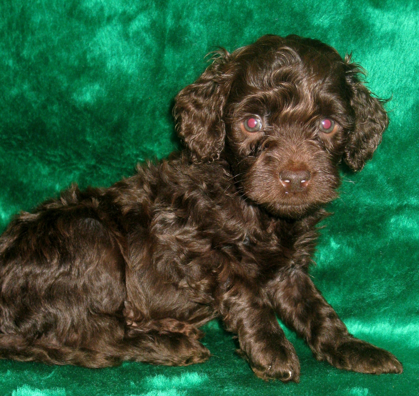 Chocolate Mini Australian Labradoodle Breeder Available