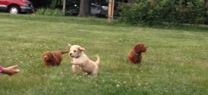 Labradoodle Puppies running