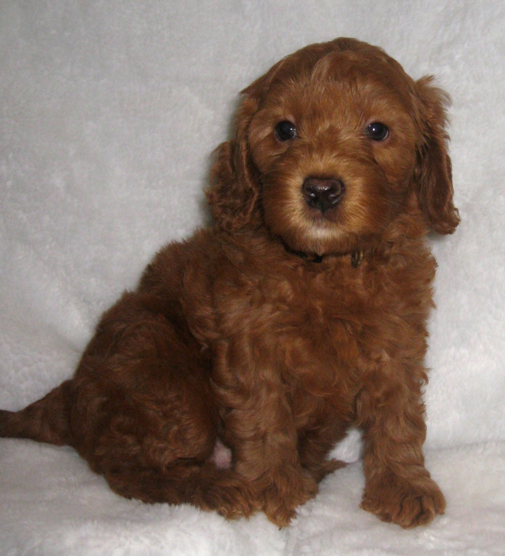 Australian Labradoodle Puppies are 6 weeks old! | Ashford ...