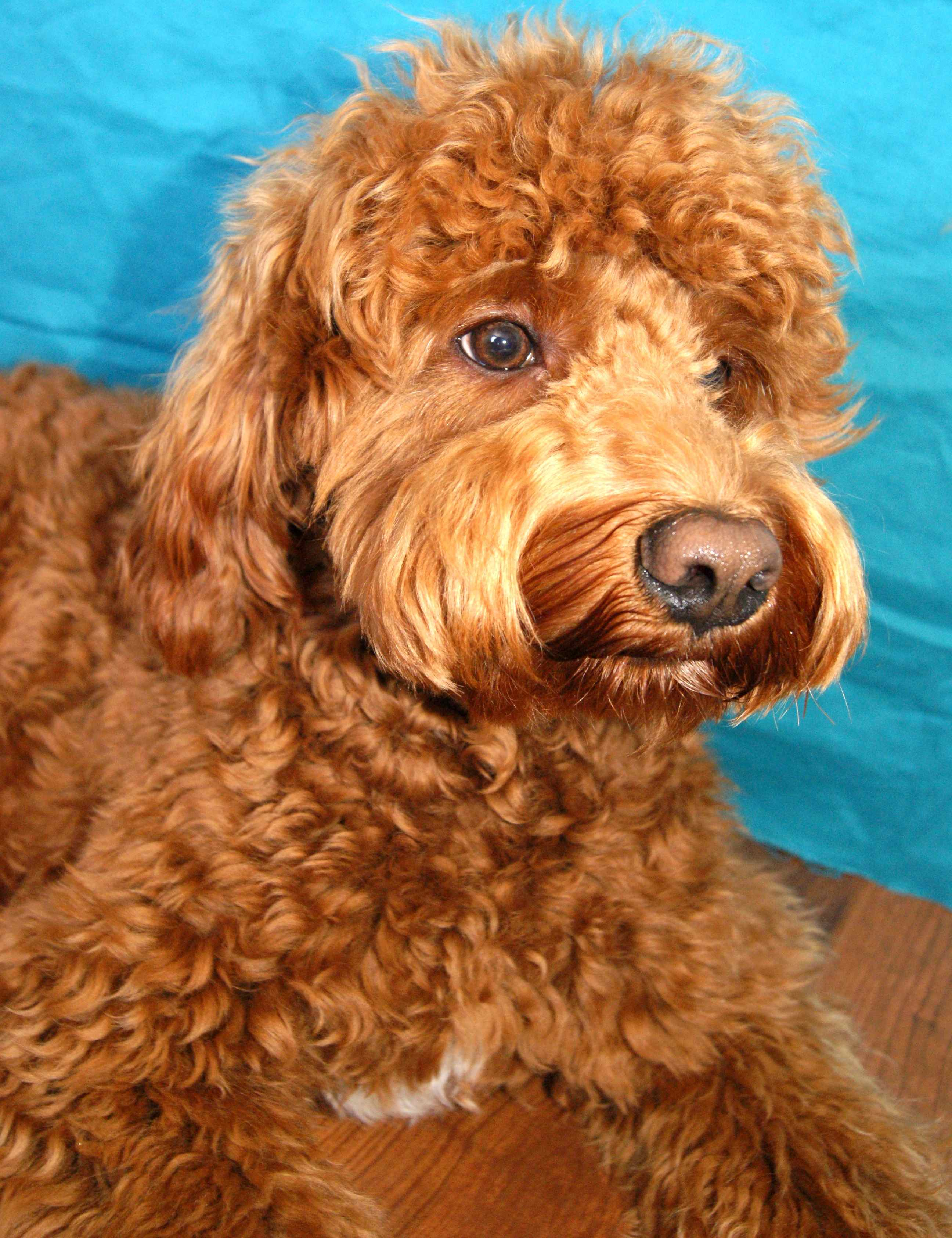 Australian Labradoodle Breeding Dogs Available | Ashford ...