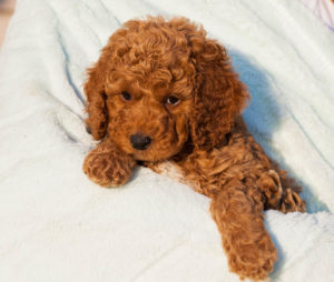 Ruby Red Australian Labradoodle