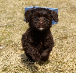 Jase is a sweet chocolate Australian Labradoodle with blue/green eyes He has a beautiful white mark on his chin. Jase loves children!