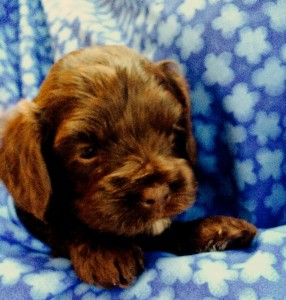 Chocolate Labradoodle Availablie