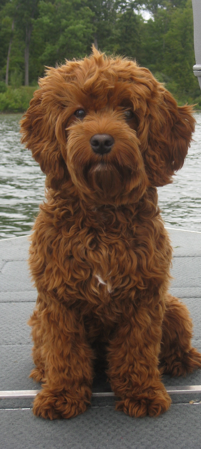 Mini Red Australian Labradoodle