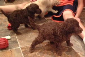 Medium Chocolate Australian Labradoodles Available