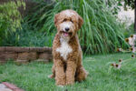 Red Australian Labradoodle white markings