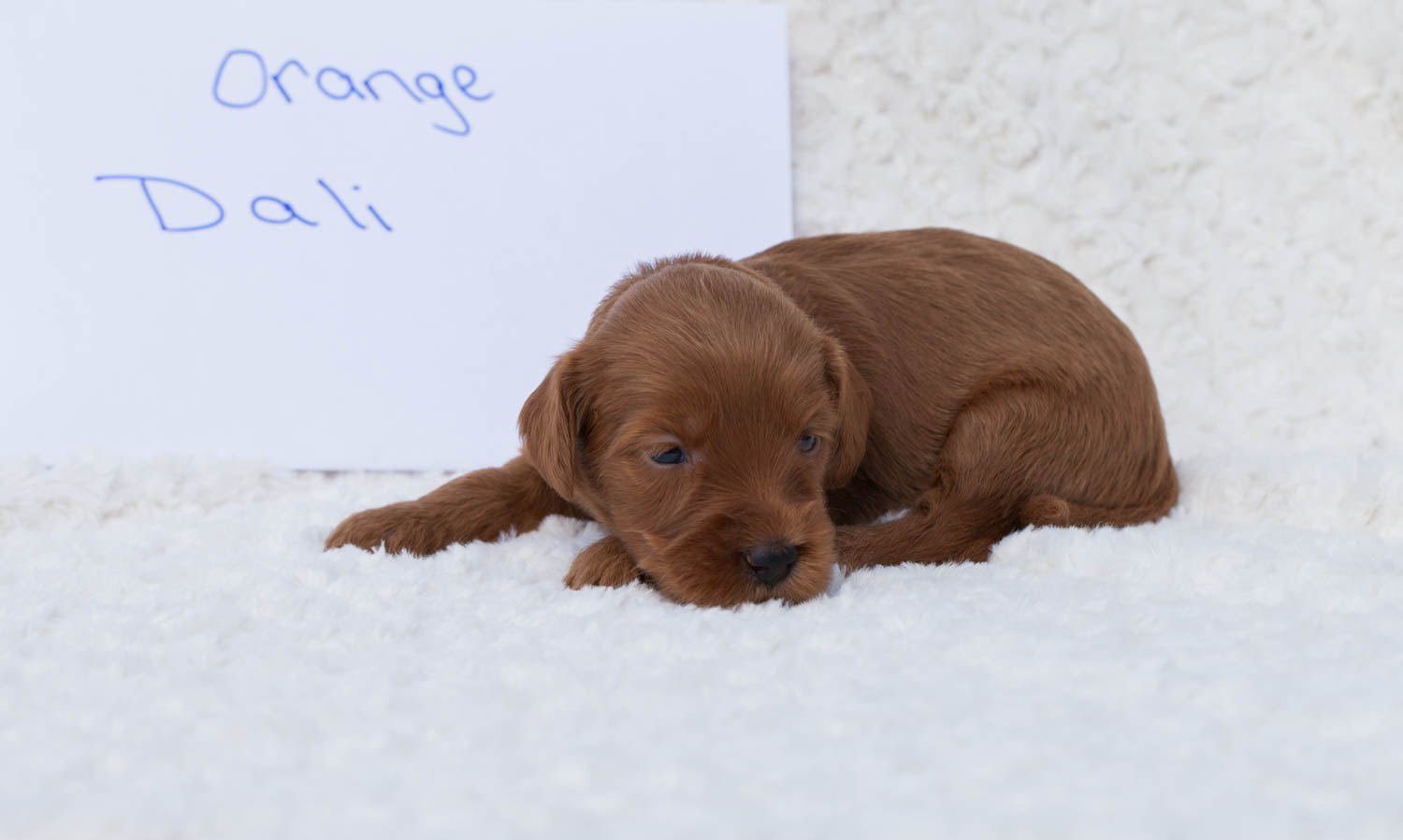 Mini and Medium Australian Labradoodles Available ...