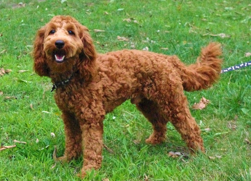 Apricot And Red Mini Australian Labradoodle Puppies