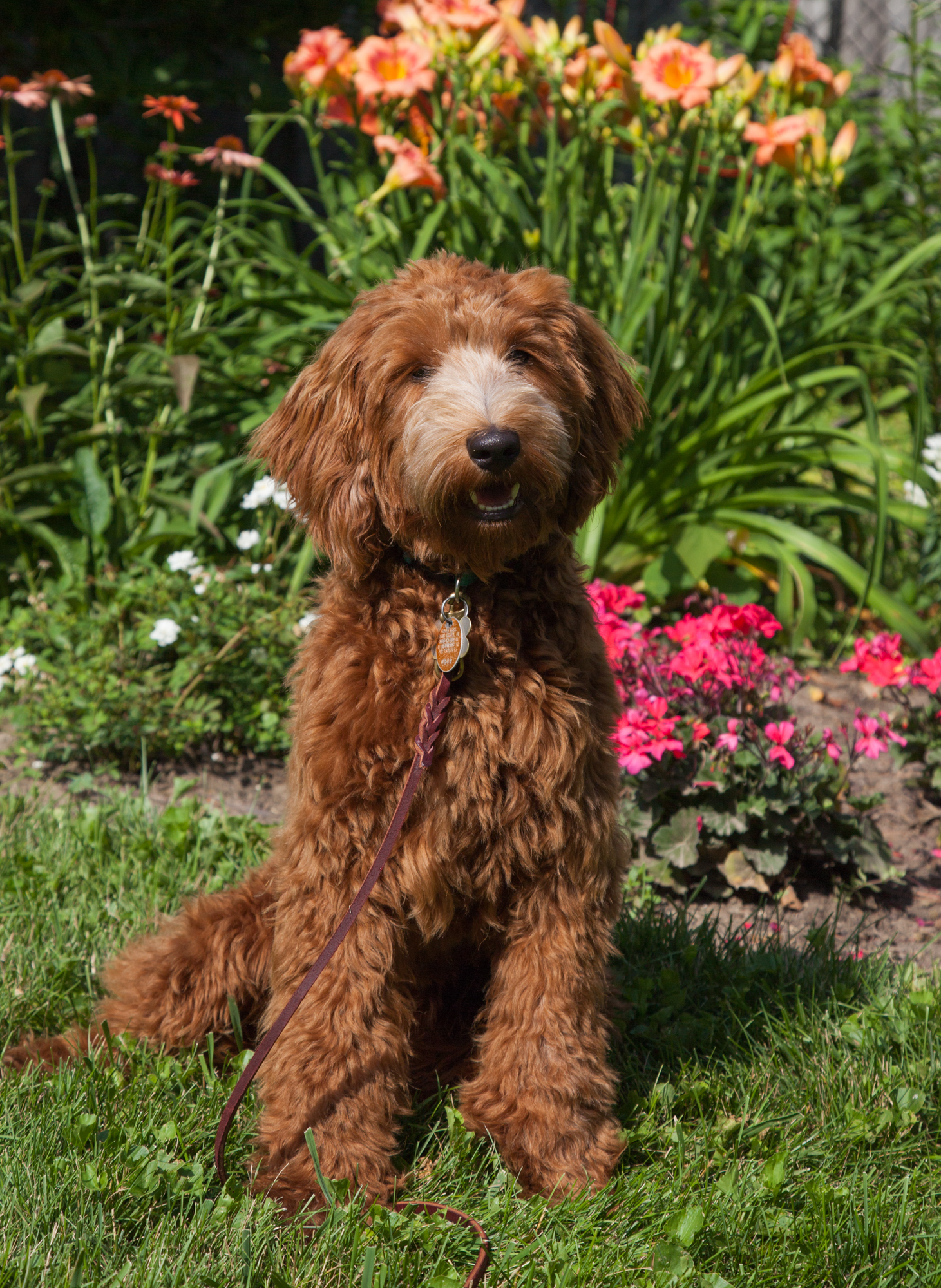 Why Dogs Smell Ashford Manor Labradoodles