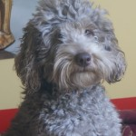 Ashford Manor Labradoodle breeder in Indiana