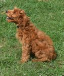 Medium Red Australian Labradoodle