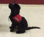 Paganaud a service dog in the school system from Ashford Manor Labradoodles.