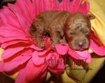 Red mini Australian Labradoodle Puppy