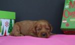 Red Australian Labradoodles