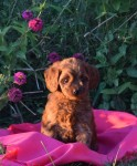 Mini red Australian Labradoodle available