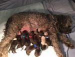 Chocolate Australian Labradoodles available