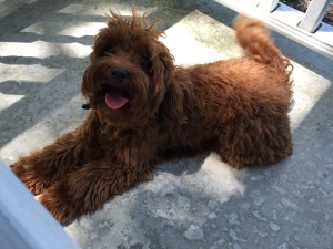 Ruby red Australian Labradoodle mini