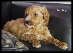 Curly Australian Labradoodle available