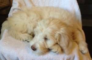 Standard Australian Labradoodle Available Now