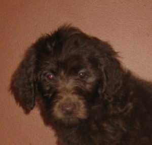 mini Australian Labradoodle Puppy Available