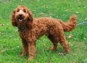 Stud Service with our red mini Australian Labradoodle