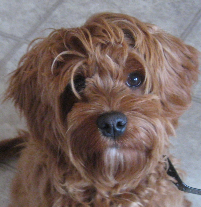 Ksl Dogs Non Shedding Breeds That Are Mellow | Dog Breeds Picture