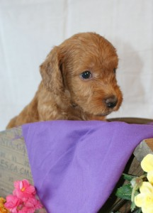 Australian Labradoodle Available