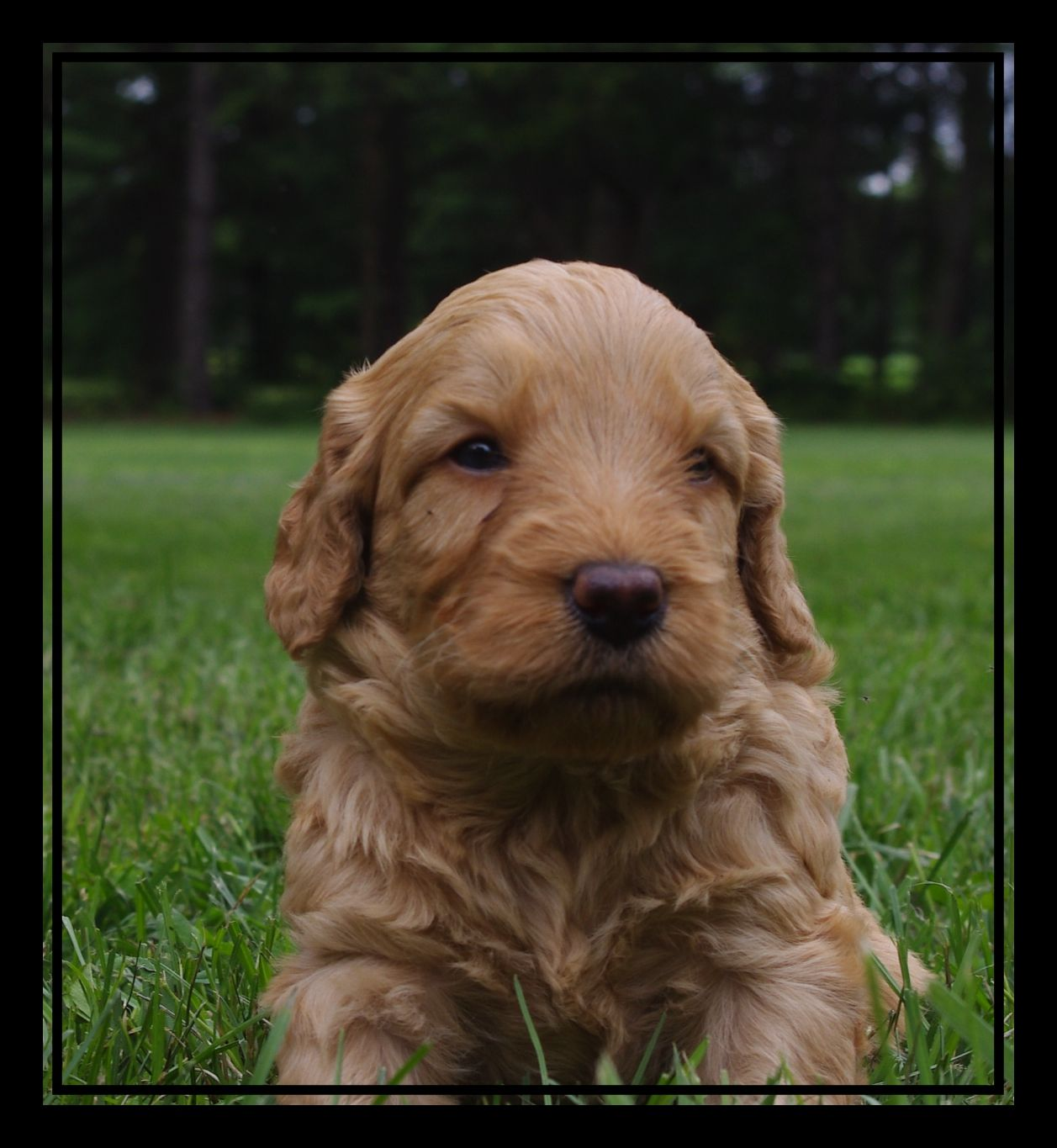 Red Australian Labradoodle puppy available | Ashford Manor ...