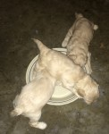 Brandy pups eating