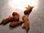 Red puppies
