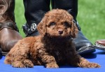 Red curly Australian Labradoodle