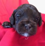 Australian Labradoodle puppy available