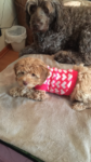 Australian Labradoodle with sweater on