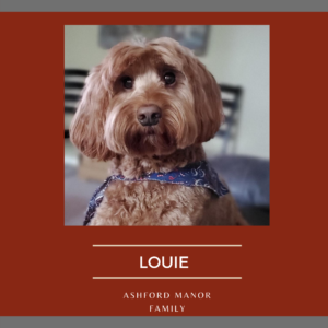 """maroon background with grey bars at top and bottom. Under a photo of the pup it is """"Louie Ashford Manor Family"""". The pup is a brown dog with long fur and wearing a blue bandana. He is looking right at the camera."""