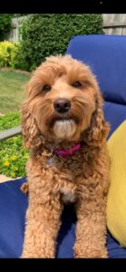 Red and white Australian Labradoodle on blue chair with yellow pillow outside
