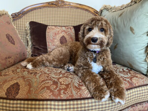 Red with white Australian Labradoodle