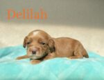 Red Australian Labradoodle with white markings on mint blanket