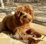 Red micro Australian Labradoodle outside