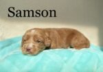 Red Australian Labradoodle with white marks on teal blanket
