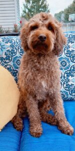 Red Australian Labradoodle on blue outdoor furniture