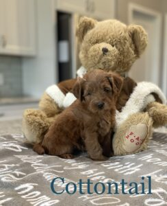 Red Australian Labradoodle with bear