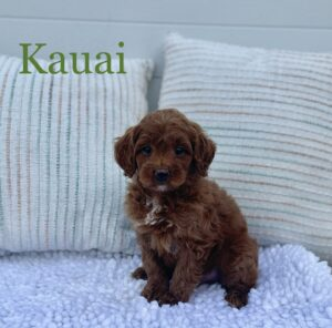 Red Australian Labradoodle with white markings