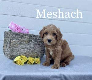 Red Ashford Manor Labradoodle with white markings