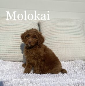 red caramel Australian Labradoodle against white background